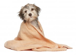 A wet chocolate havanese puppy dog after bath is dressed in a peach towel isolated on white background